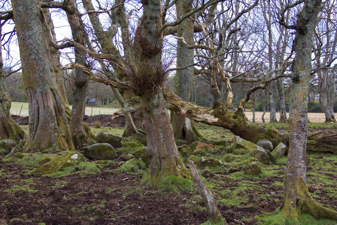 Baumgruppe bei Loch Buie Isle of Mull Schottland