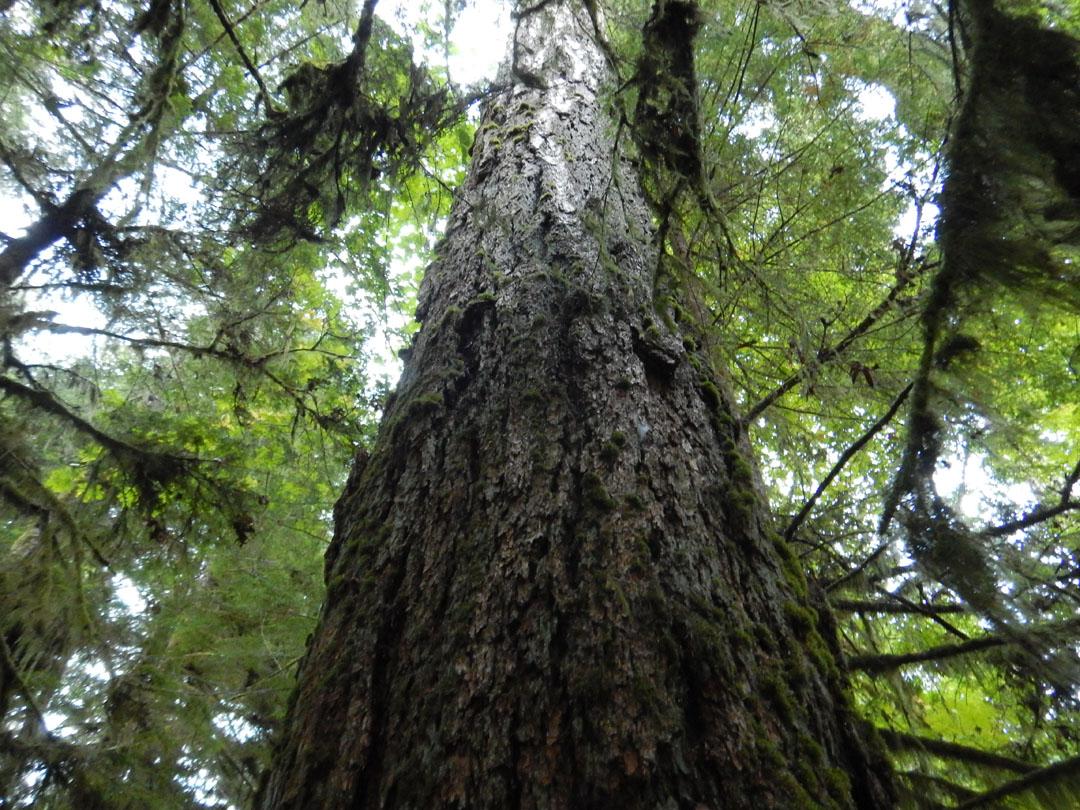 Baum Cathedrial Trail, Vancouver Island, Kanada