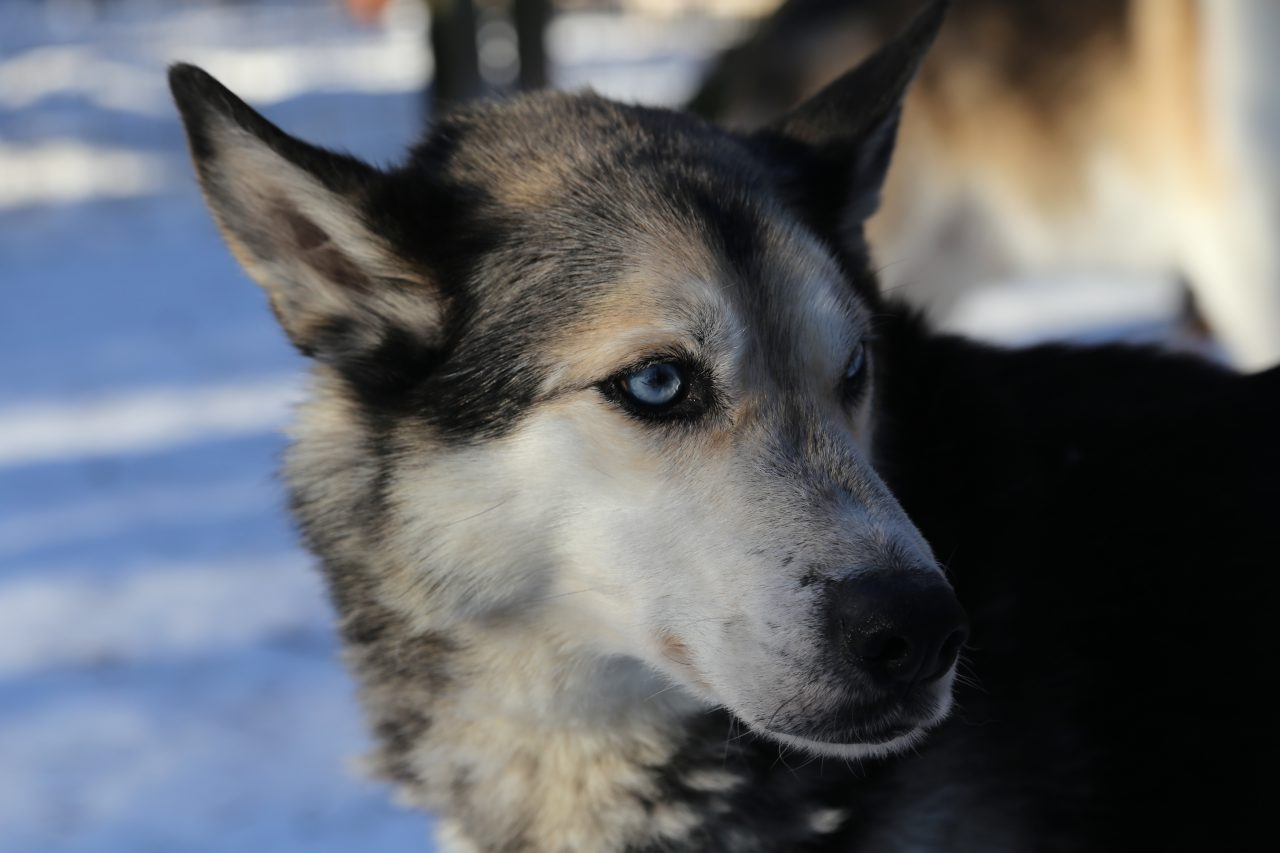Schlittenhunde Eräkeskus Lodge Finnland