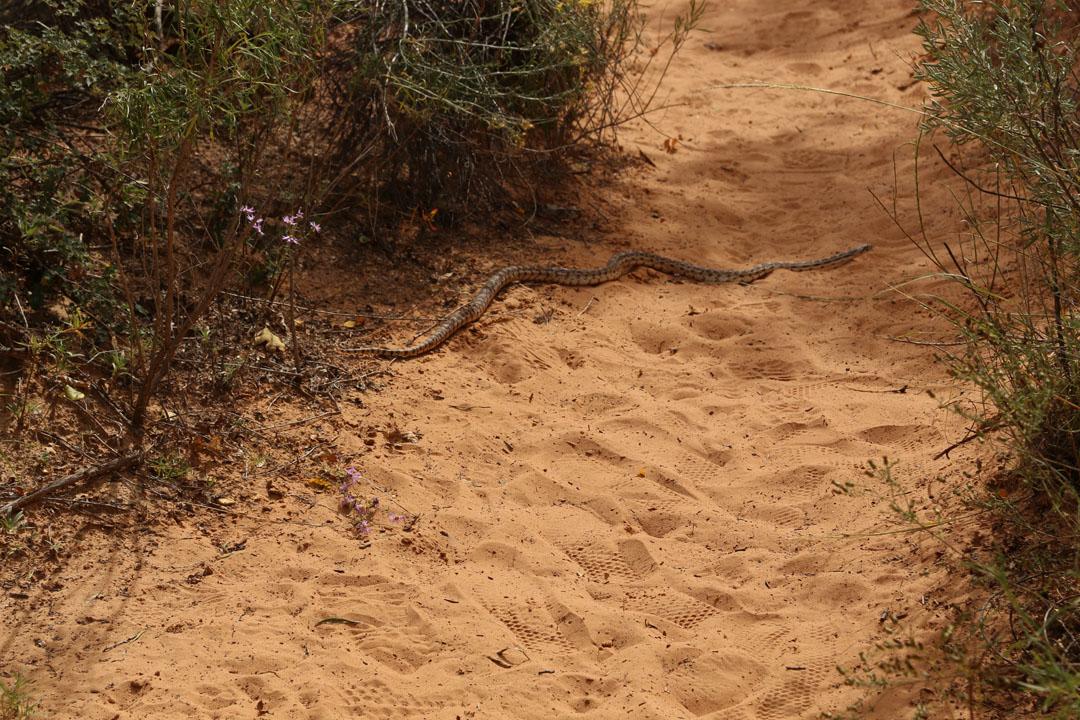 Calf Creek Falls Gopher Snake Utha USA Utha USA