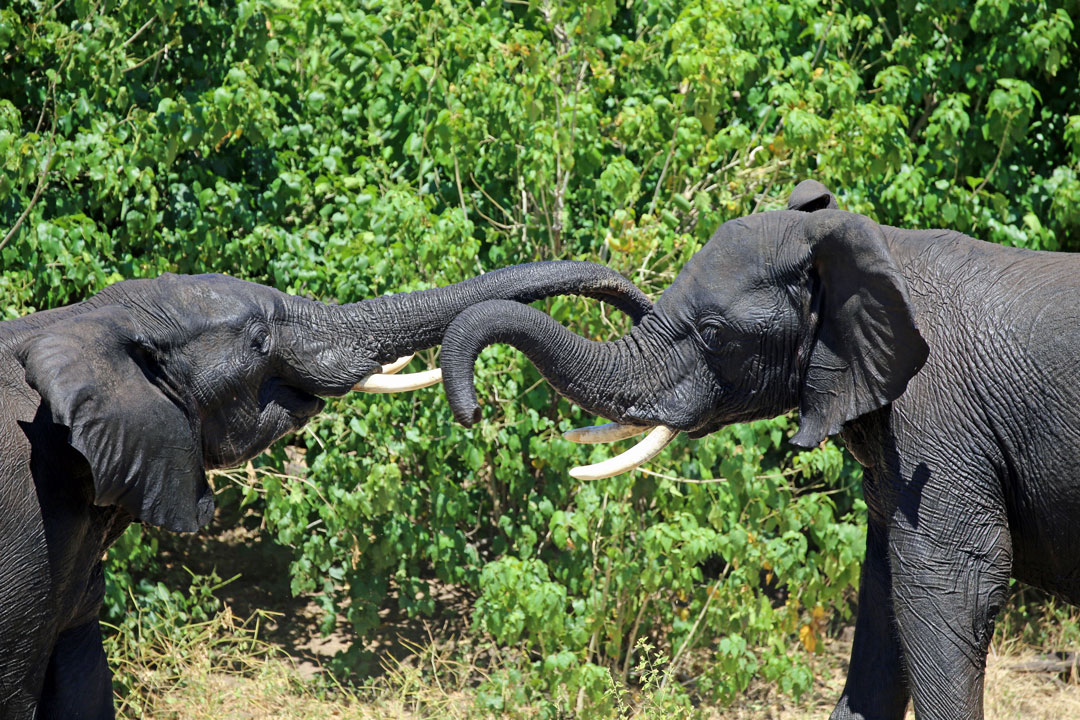Chobe Rive Elefanten Botswana