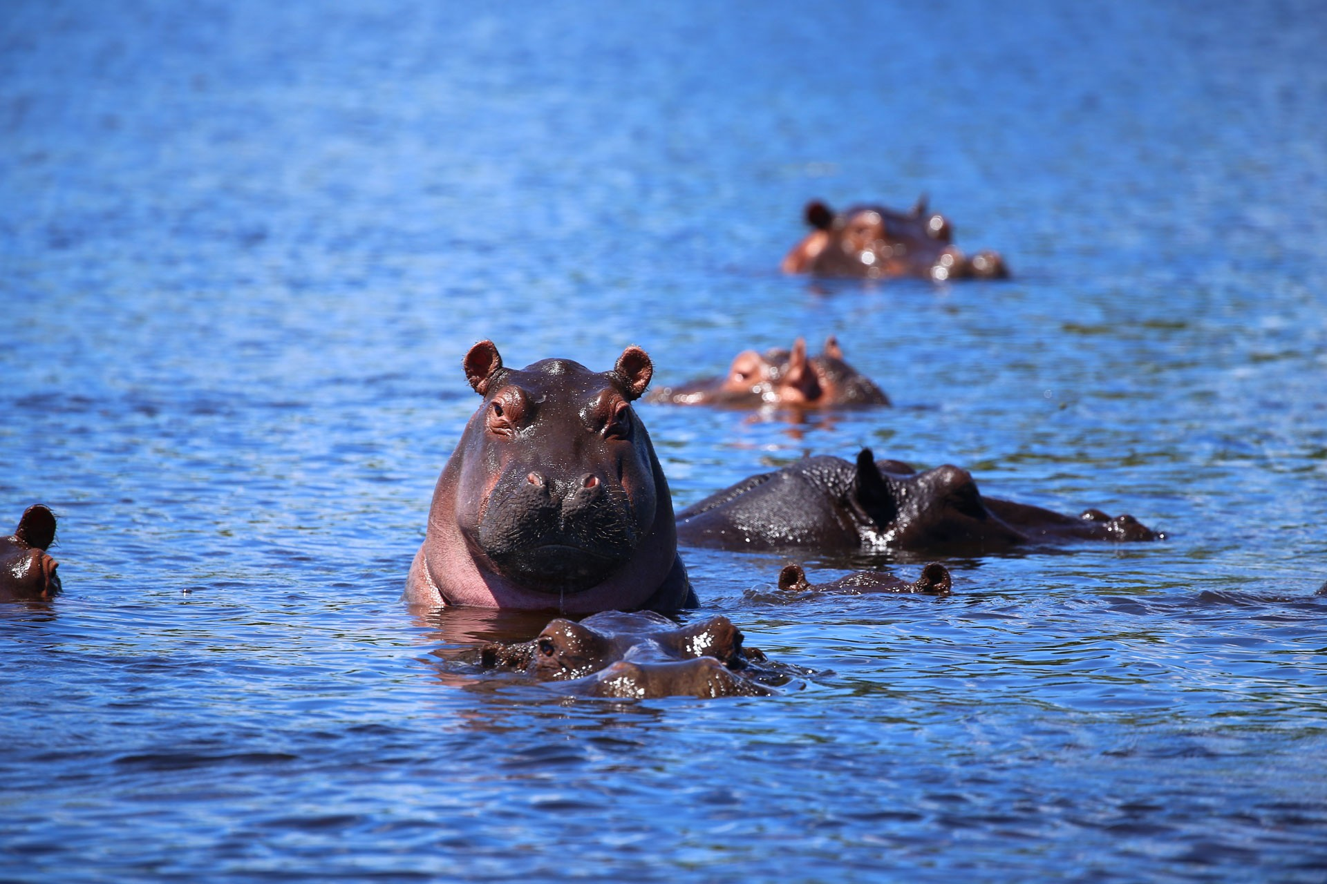 Bootsfahrt auf dem Chobe River Nielpferde Botswana
