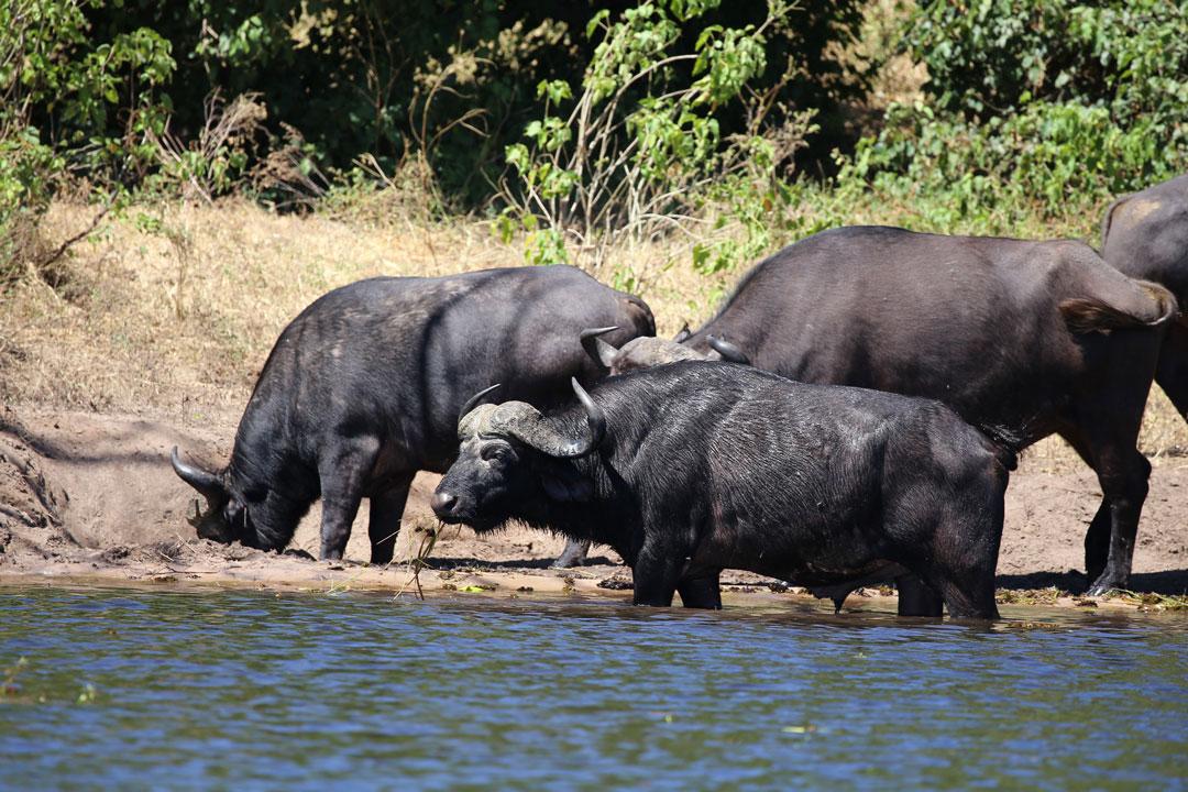 Chobe Rive Wasserbüffel Botswana
