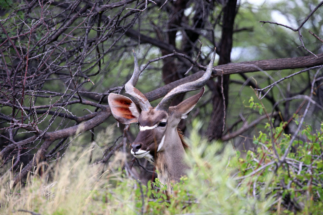 EtoshaNationalpark Kudubock im Gebuesch Namibia