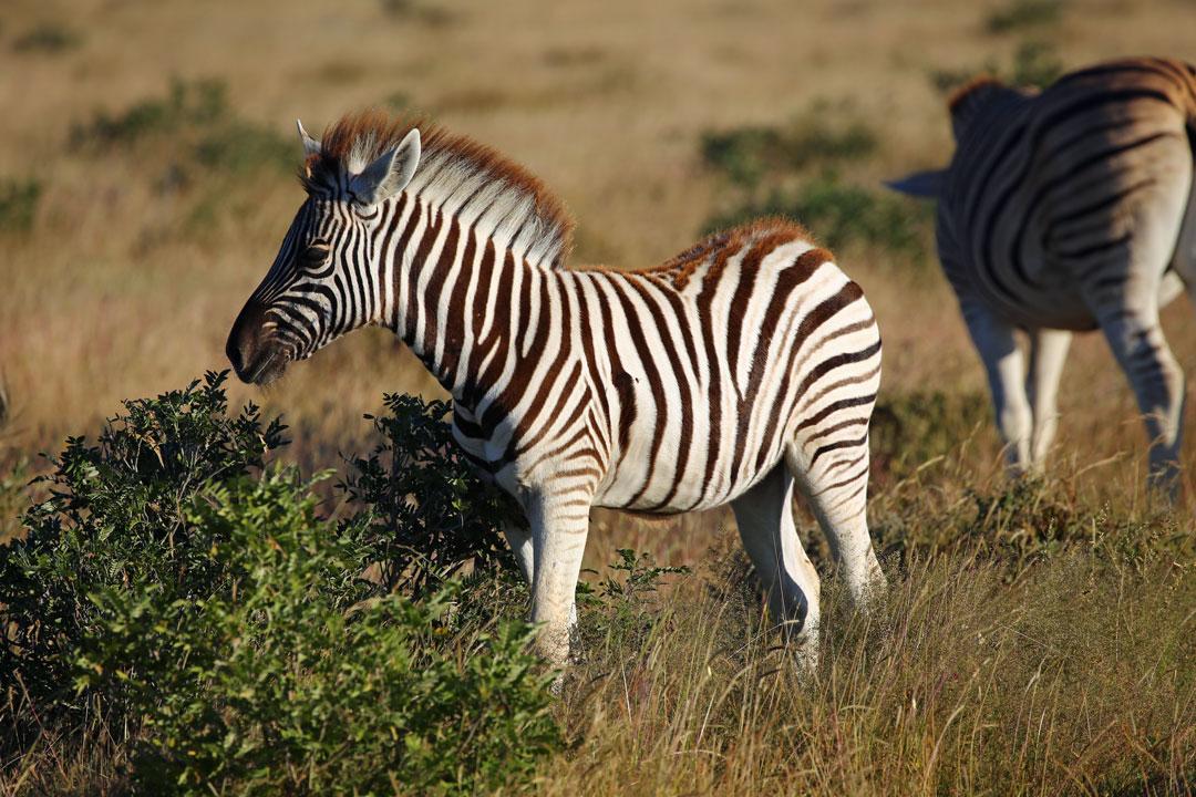 Etosha Nationalpark Zebra Namibia