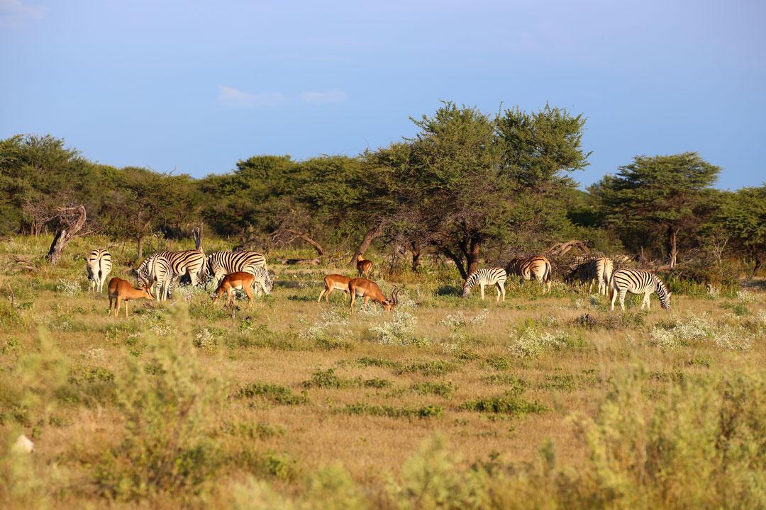 Etosha Nationalpark Zebras Springboecke Namibia
