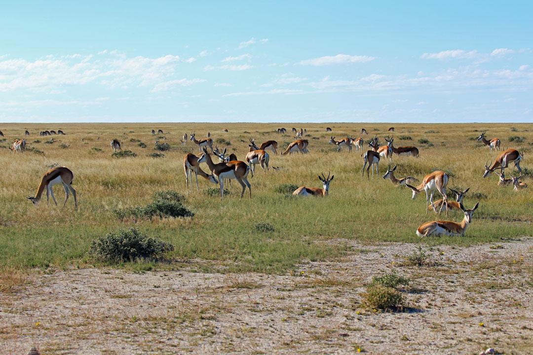 Etosha Nationalpark Springboecke Namibia