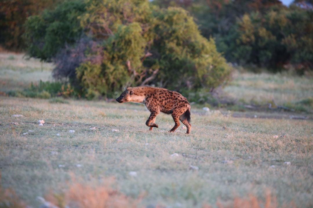 Etosha Nationapark Tuepfelhyaene im Abendlicht Namibia