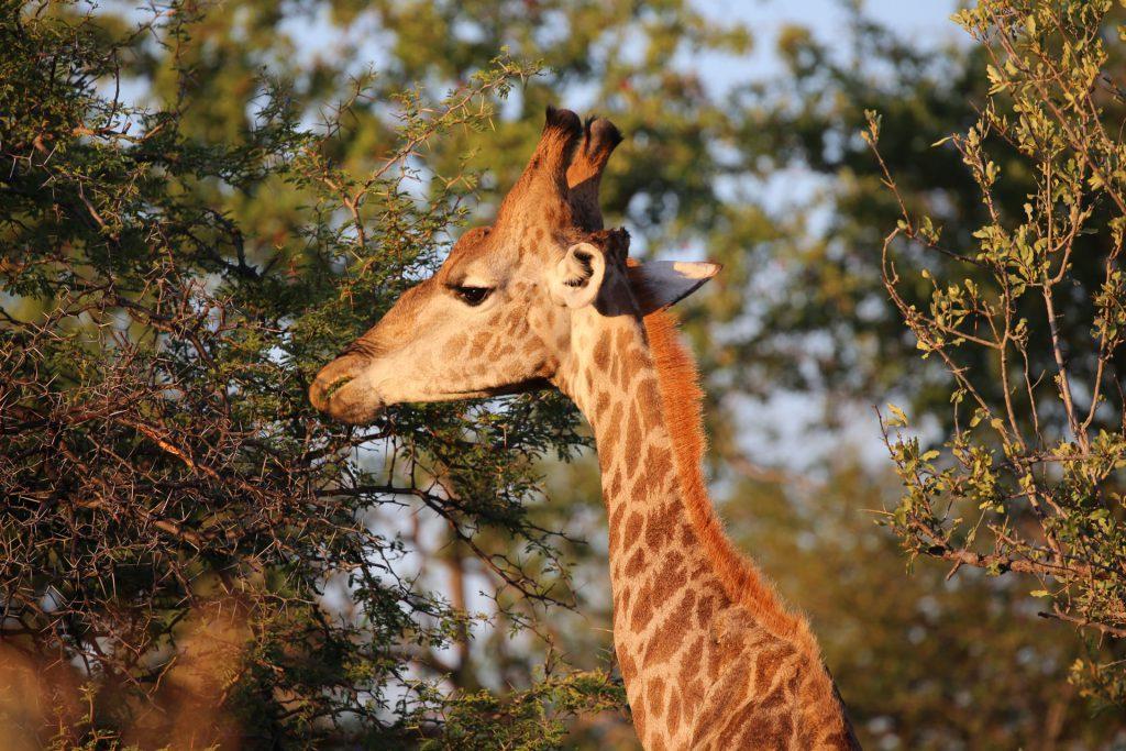 Giraffe-Etosha-Nationalpark-Namibia
