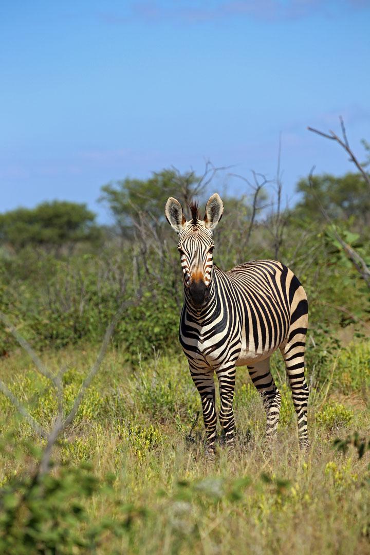 Etosha Nationalpark Bergzebra Namibia