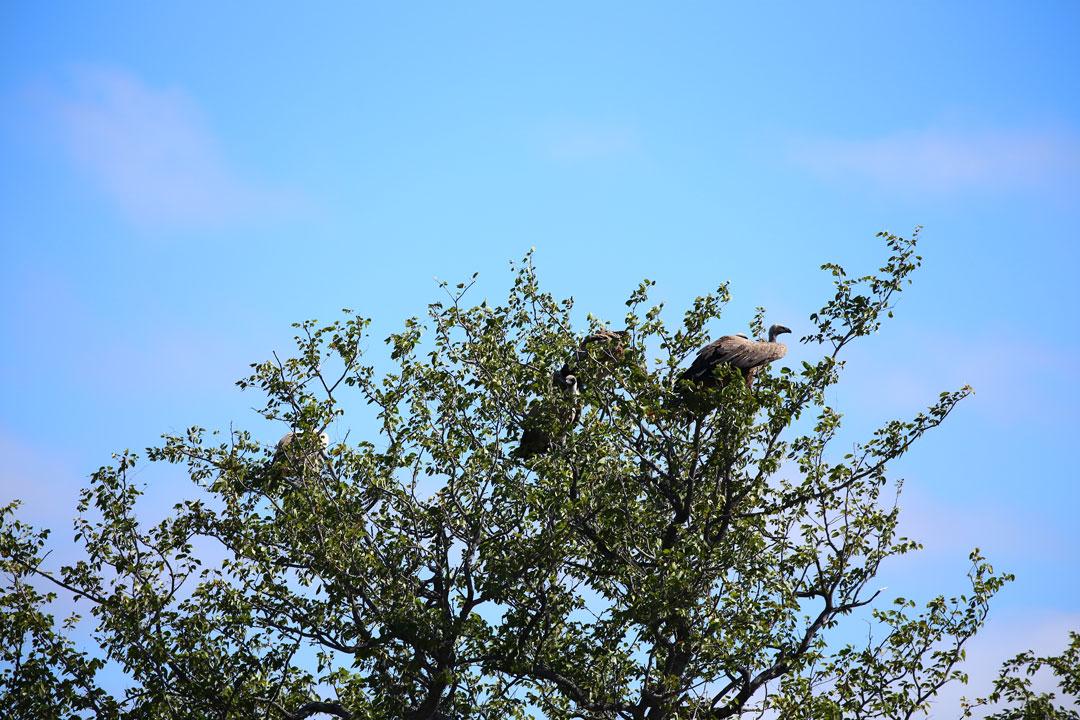 Etosha Nationalpark Geier Namibia
