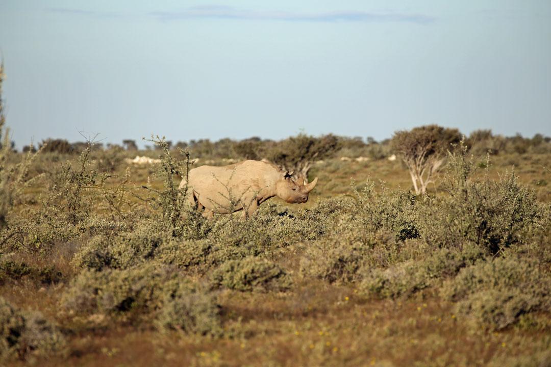 Etosha Nationalpark Nashorn Namibia