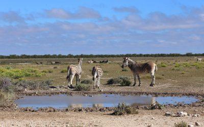 Etosha-Nationalpark-Zebra-Wasserloch-Namibia