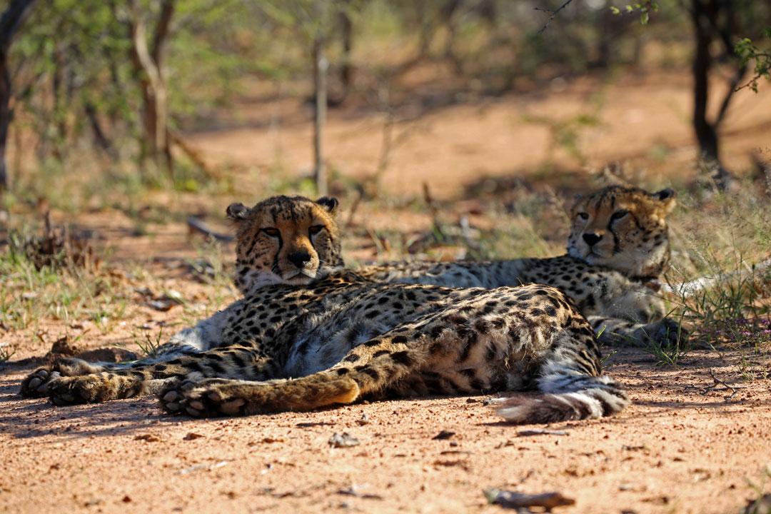 Okonjima Lodge Gepard Namibia