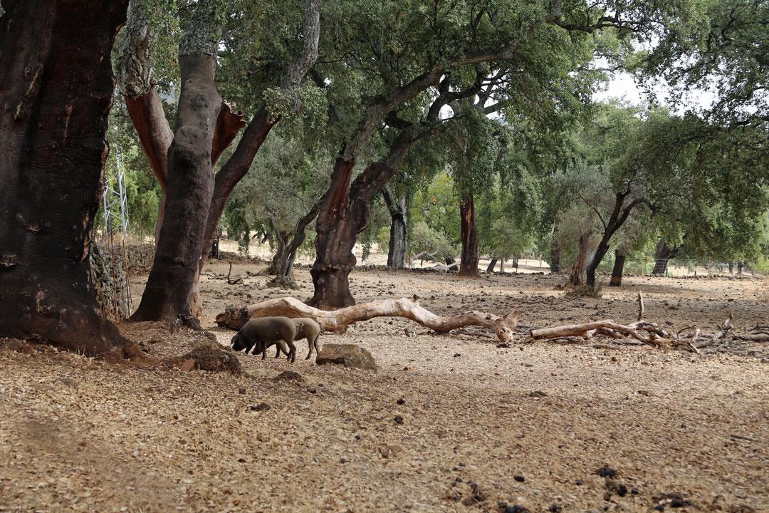 Eichen-schwarze Schweine Andalusien Spanien