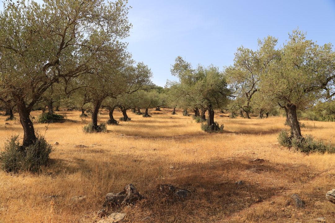 Olivenhein Zufre Andalusien Spanien