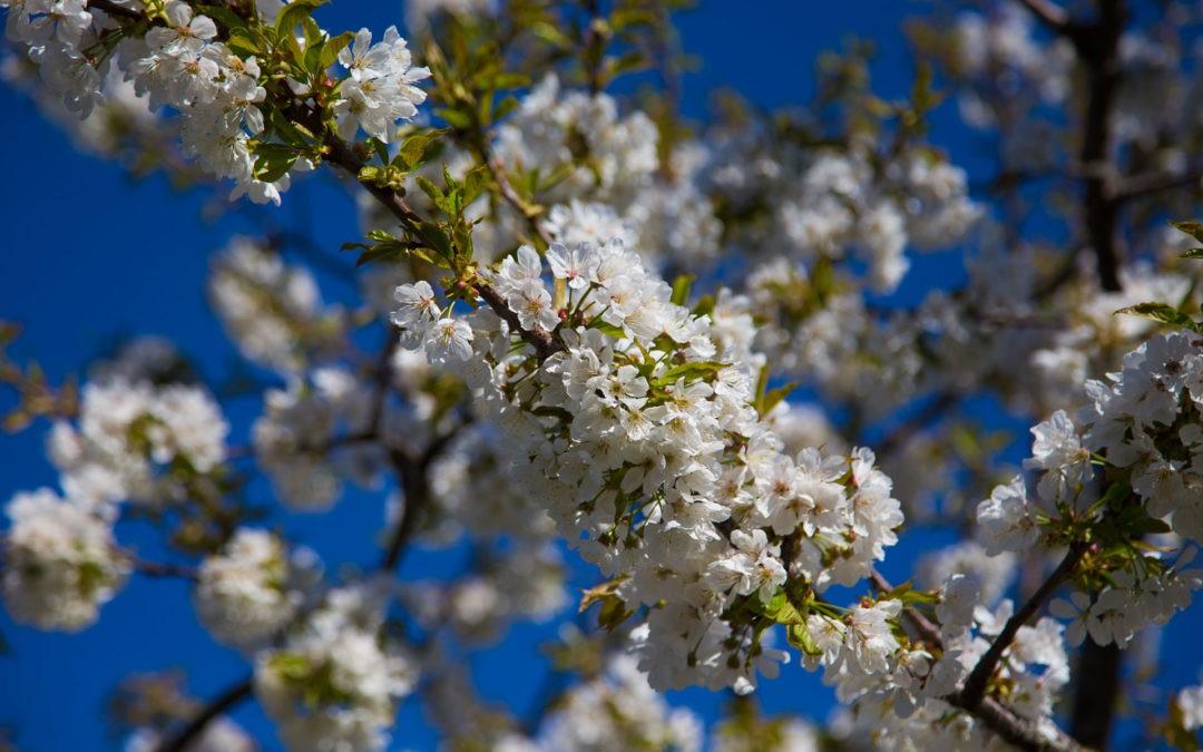 Kirschblütenwanderung Zugersee – Walchwil Arth