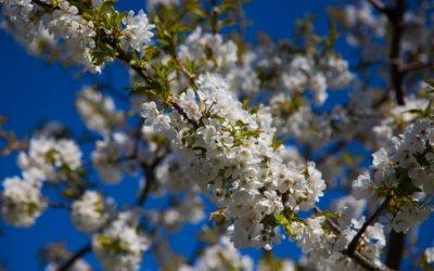 Kirschblueten-zug-schweiz
