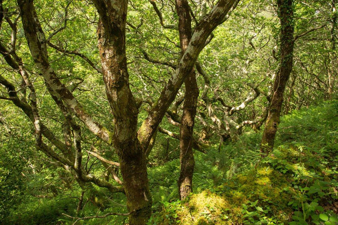 Eichenwald Exmoor Devon