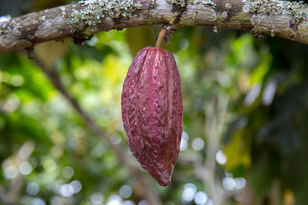 Kakaofrucht-Kolumbien