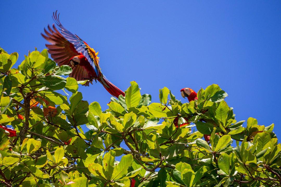 Ara Papagei im Flug Costa-Rica