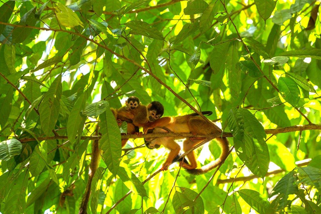 Corcovado Nationalpark Totenkopfaffen