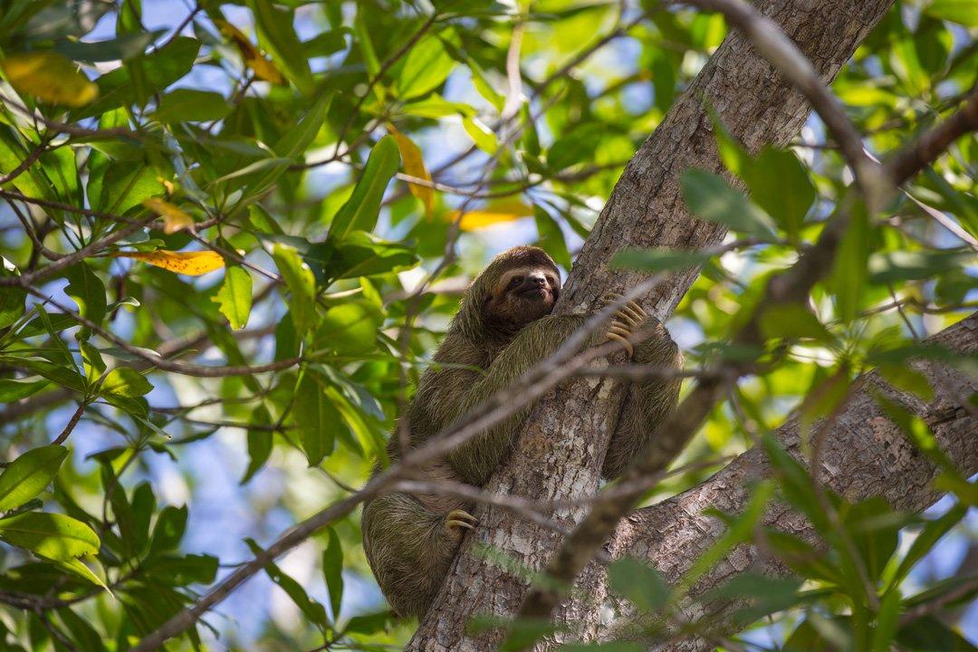 Faultier Sierpe Osa Peninsula Costa Rica
