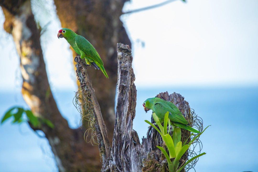 Gruene Aras Papageien Copa de Arbol Drake Bay