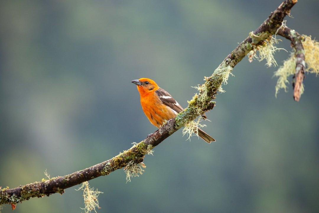 Oranger Vogel Costa Rica
