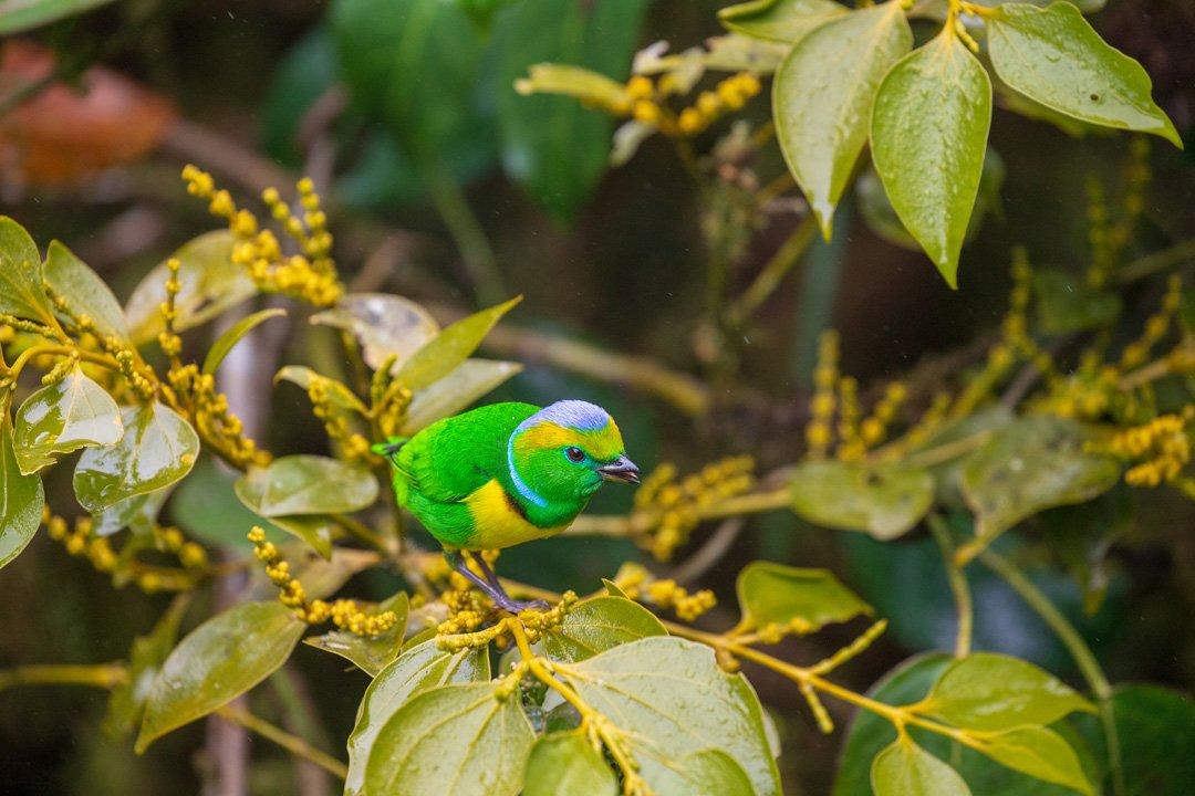 Golden-Browed-Chlorophonia Männchen Monteverde