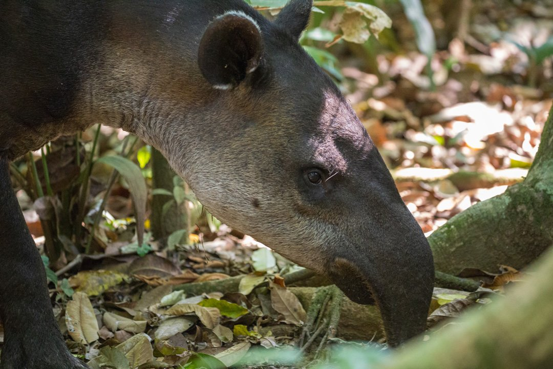 tapir corcovado nationalpark costa rica
