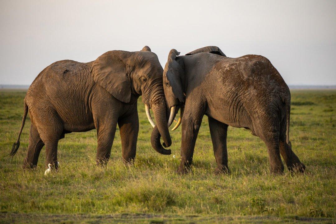 Elefanten im Amboseli Nationalpark Kenia