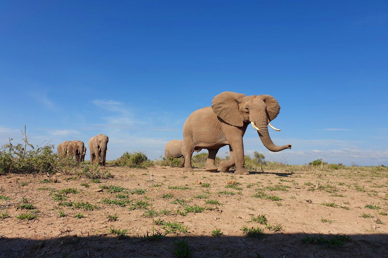 Elefanten Amboseli