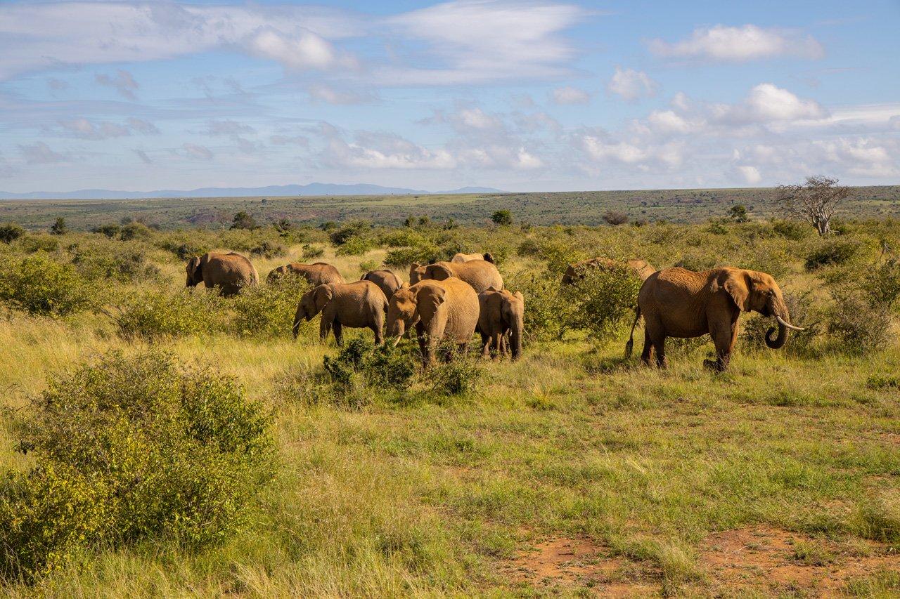 Elefantengruppe Loisaba Kenia