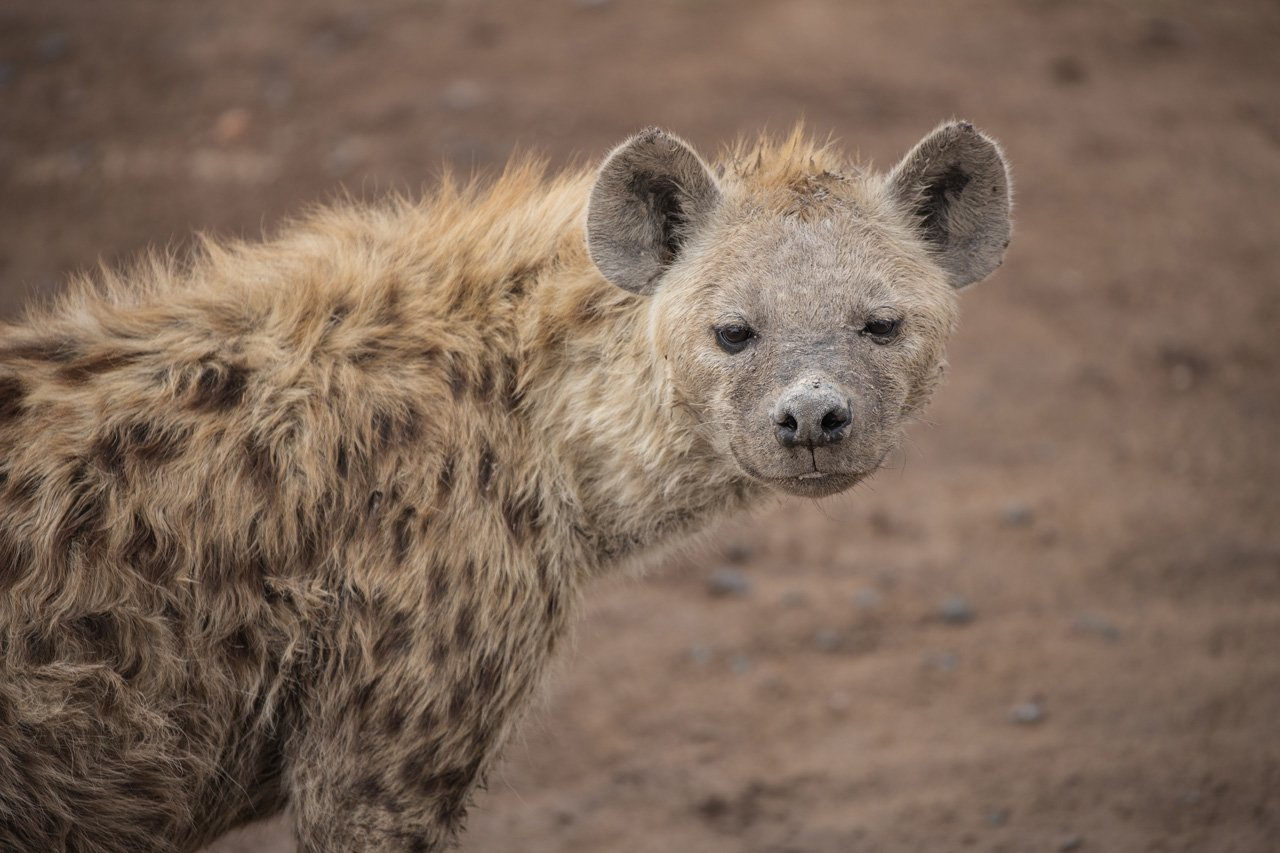 Hyaene Amboseli Kenia
