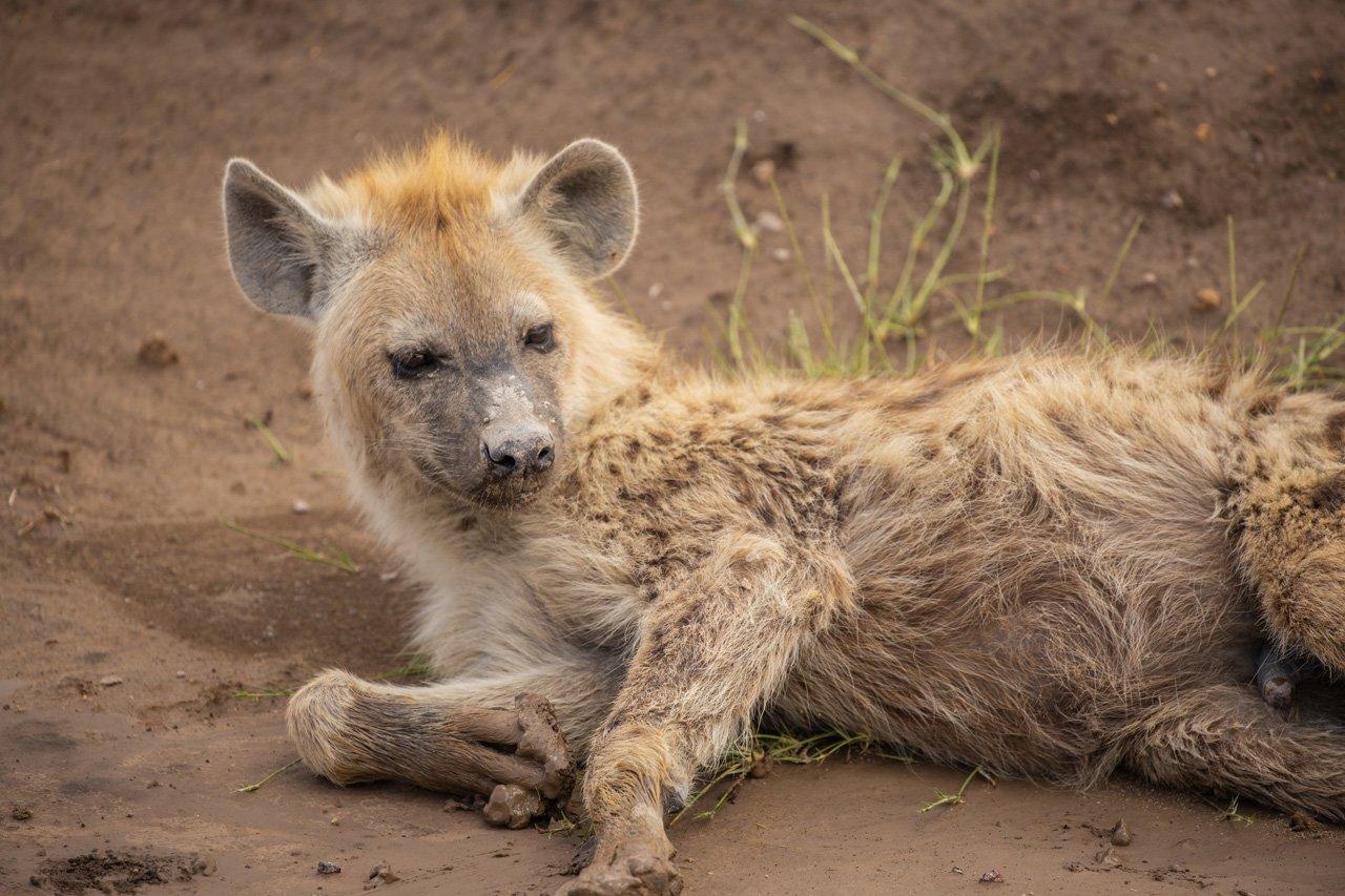 Hyaene liegend Amboseli Kenia