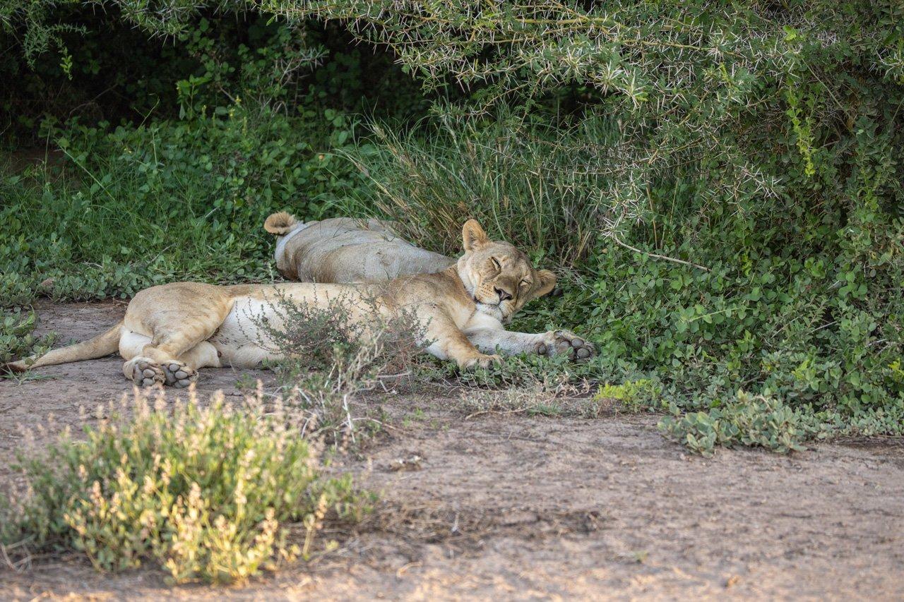 Löwen Amboseli