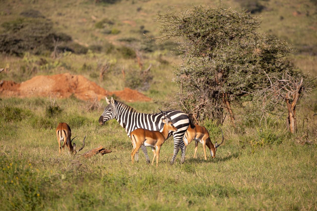 Safari Loisaba Zebra Antilopen