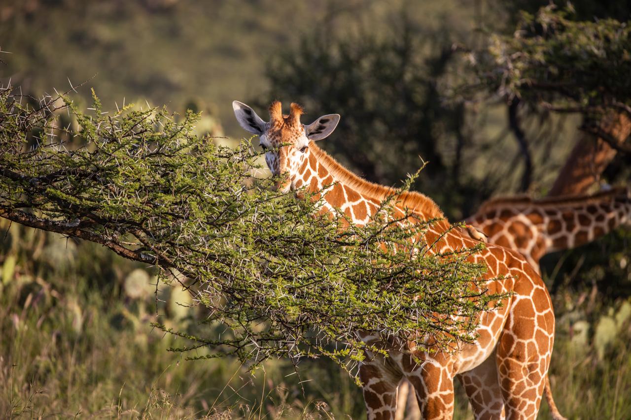 Safari Giraffe Loisaba Kenia