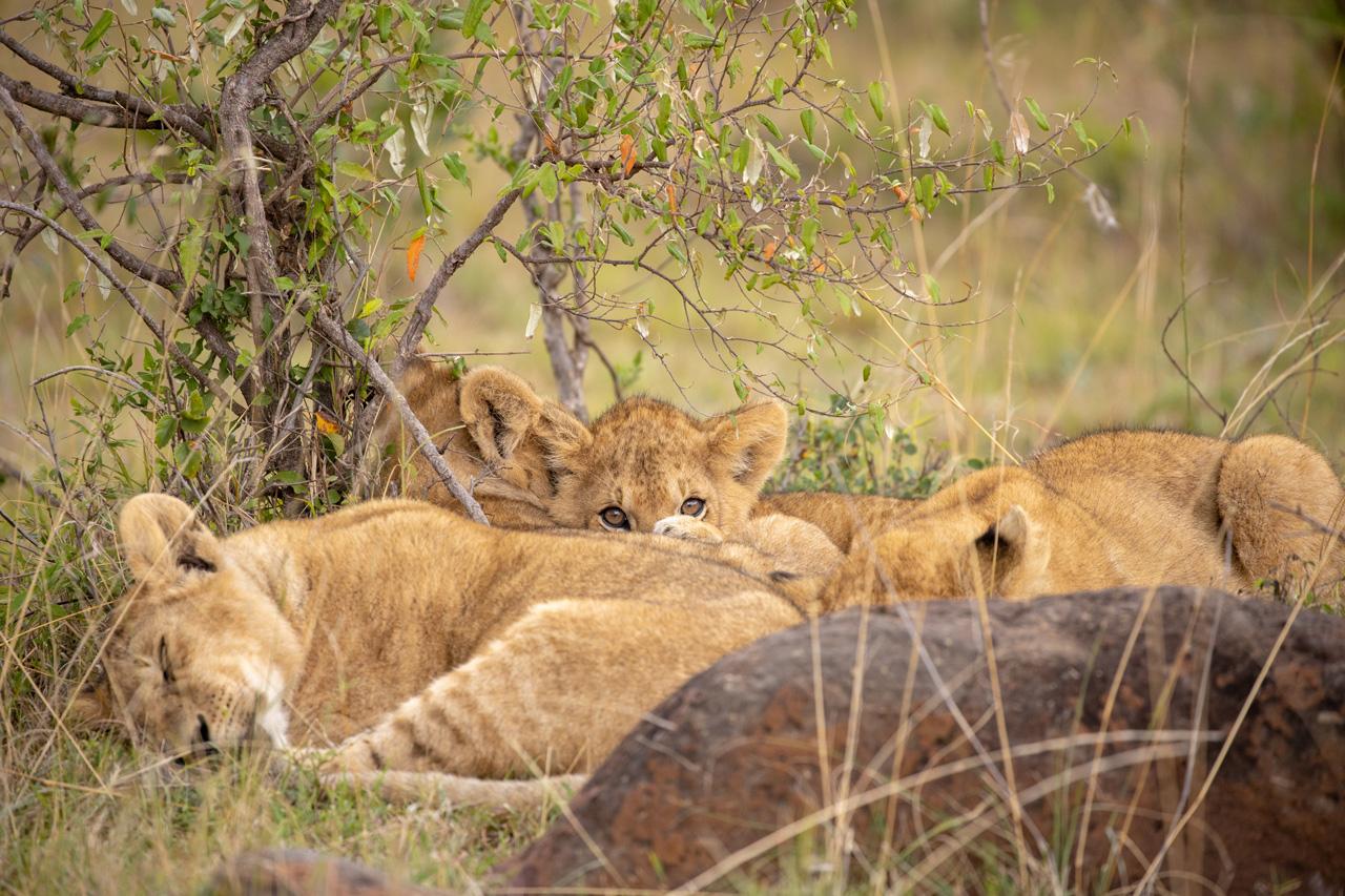 Junge Löwengruppe nach dem Spielen