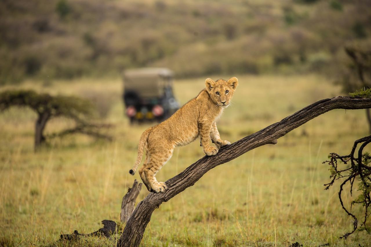 Junger Löwe auf Baum