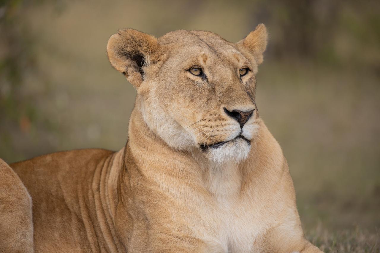 Löwen Portrait
