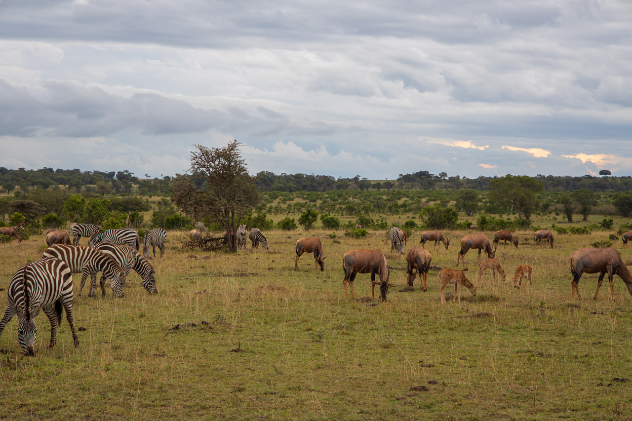 Massai Mara Gazellen Zebras Antilopen Topis