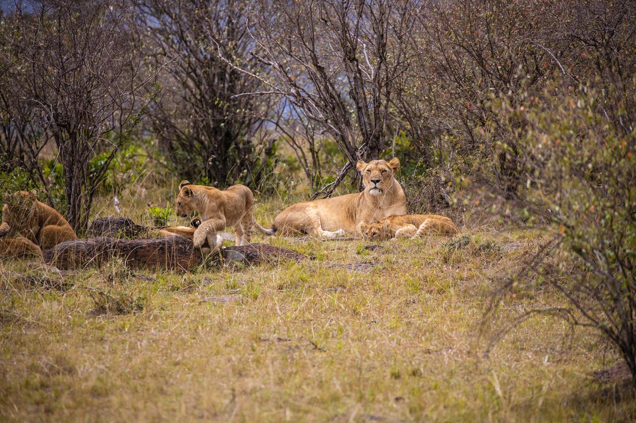 Massai Mara Löwenfamilie