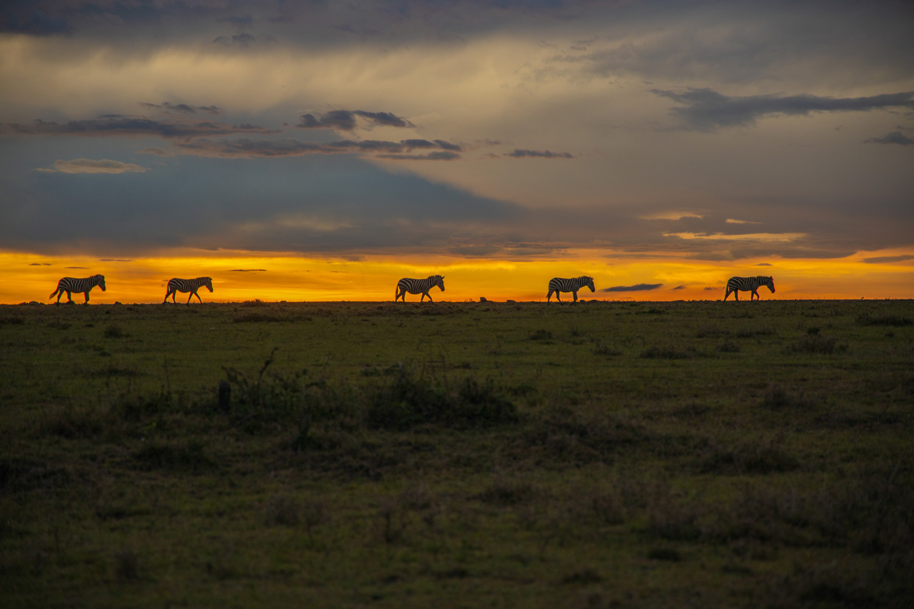 Sundowner Massai Mara Zebras