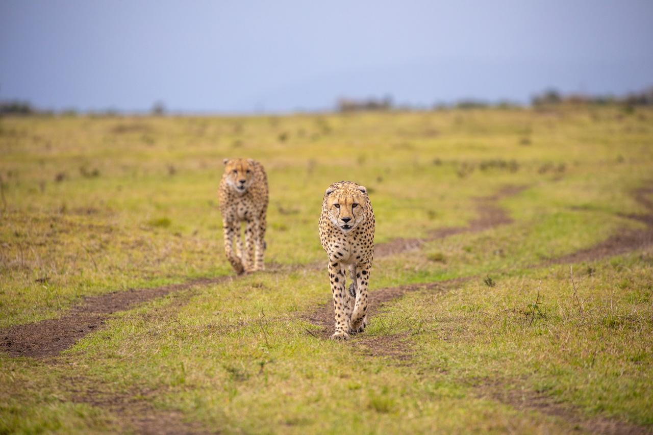 Geparde Massai Mara