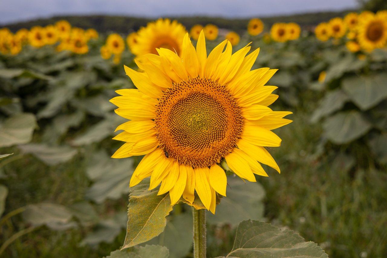 Sonnenblumenfeld Costa Brava